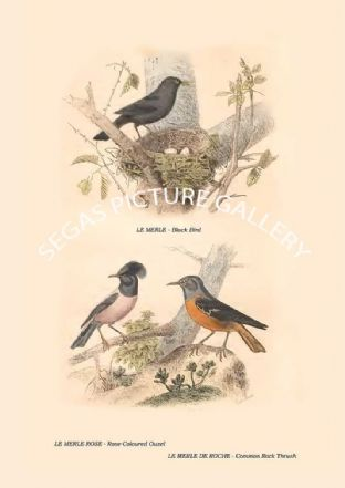 Black Bird, Rose-Coloured Ouzel, Common Rock Thrush